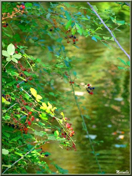 Roncier et ses mûres en bordure de La Leyre, Sentier du Littoral au lieu-dit Lamothe, Le Teich, Bassin d'Arcachon (33)