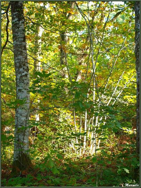 Sous-bois de chênes en tout début d'automne, forêt sur le Bassin d'Arcachon (33)