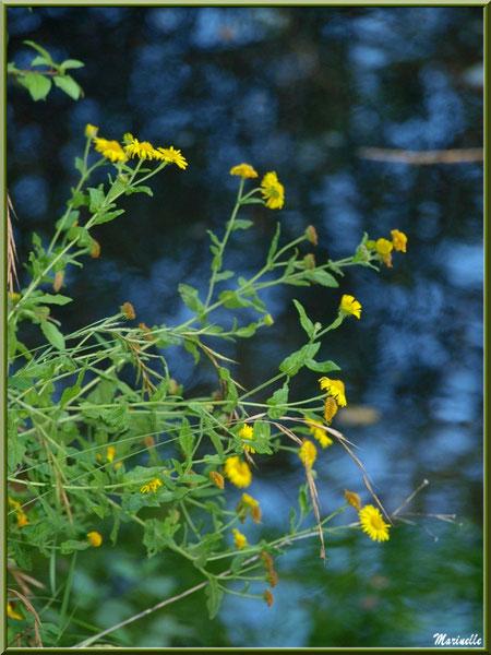Petites marguerites jaunes en bordure de La Leyre, Sentier du Littoral au lieu-dit Lamothe, Le Teich, Bassin d'Arcachon (33)