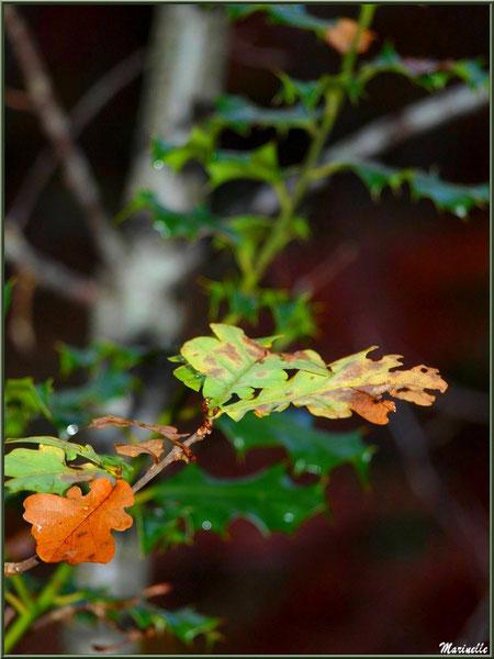 Branche de chêne automnal sur fond de houx, forêt sur le Bassin d'Arcachon (33)