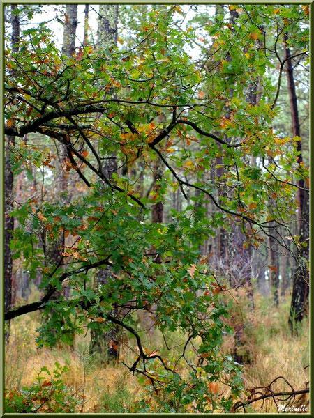 Méli mélo forestier : chêne automnal sur fond de pins et végétation diverse, forêt sur le Bassin d'Arcachon (33)