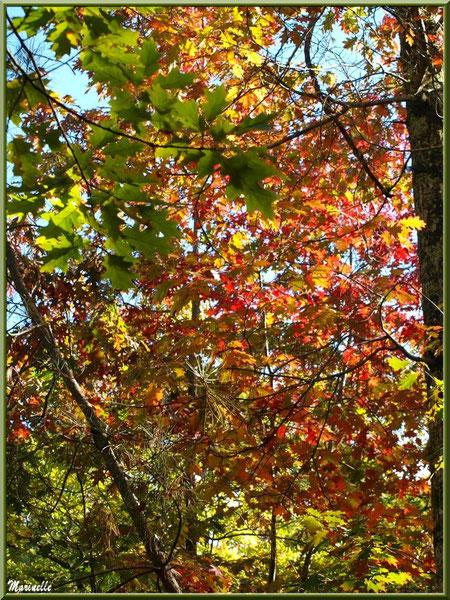 Chênes d'automne en forêt sur le Bassin d'Arcachon (33)