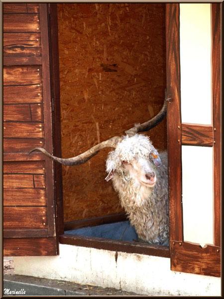 """Chèvre Angora """"coucou, je suis là !"""", Parc de la Coccinelle, mini-ferme à Gujan-Mestras, Bassin d'Arcachon (33)"""