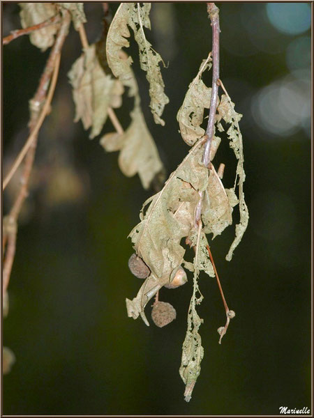 Branche de chêne hivernale en lambeaux de dentelle, forêt sur le Bassin d'Arcachon (33)