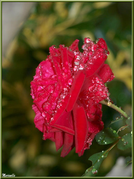 Profil de rose rouge après ondée (au jardin)