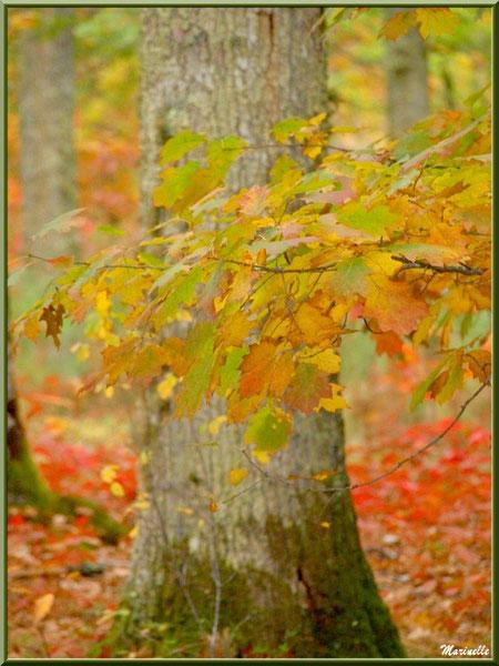 Chêne en période automnale, forêt sur le Bassin d'Arcachon (33)