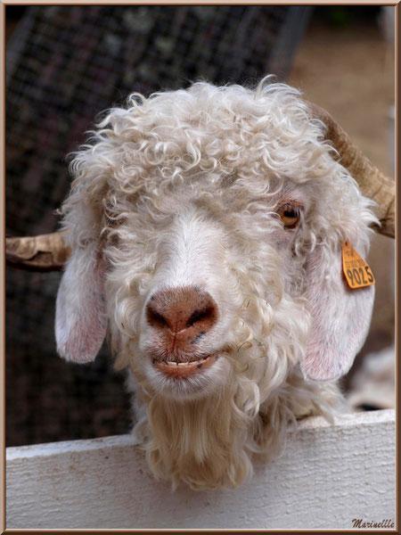"""Chèvre Angora """"tout sourire"""", Parc de la Coccinelle, mini-ferme à Gujan-Mestras, Bassin d'Arcachon (33)"""