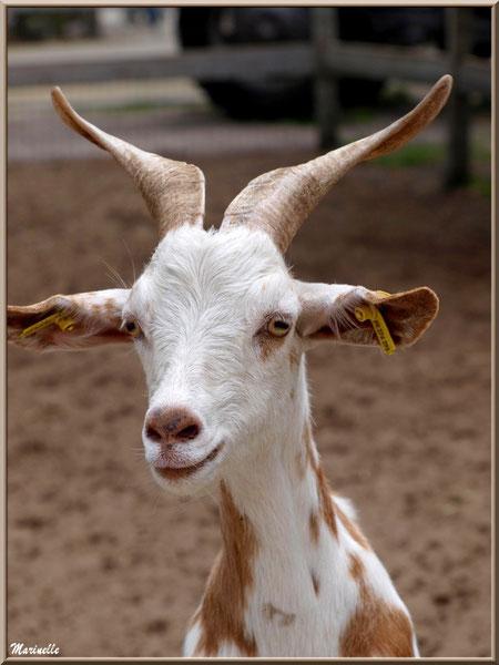 Chèvre blanche tachetée marron, Parc de la Coccinelle, mini-ferme à Gujan-Mestras, Bassin d'Arcachon (33)
