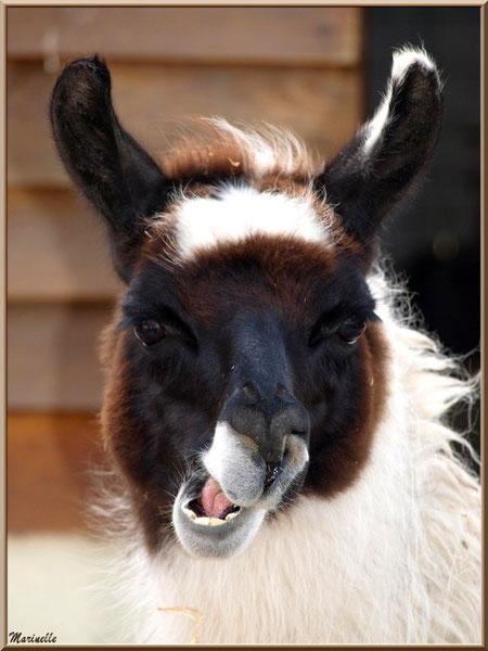 """""""Serge"""" le Lama, Parc de la Coccinelle, mini-ferme à Gujan-Mestras, Bassin d'Arcachon (33)"""