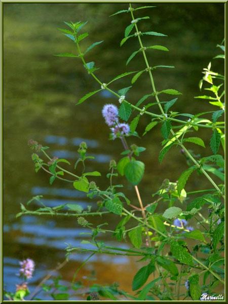 Menthe sauvage et reflets sur La Leyre, Sentier du Littoral au lieu-dit Lamothe, Le Teich, Bassin d'Arcachon (33)
