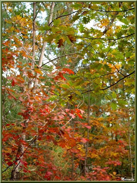 Chênes en période automnale en forêt sur le Bassin d'Arcachon (33)