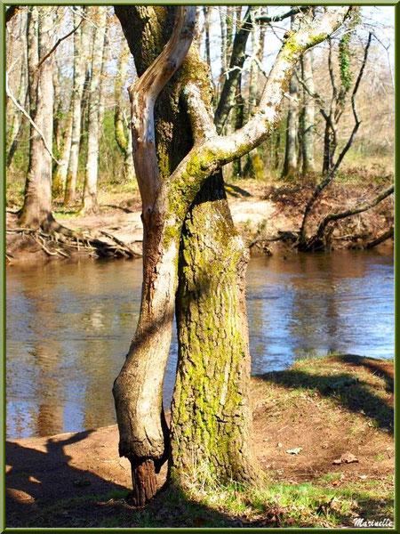 Couple de troncs d'arbres telle une danseuse charmeuse qui s'enroule autour de son cavalier, en bordure de La Leyre, Sentier du Littoral au lieu-dit Lamothe, Le Teich, Bassin d'Arcachon (33)