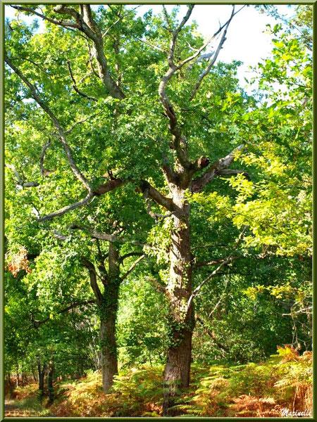 Sous-bois de chênes en forêt sur le Bassin d'Arcachon (33)