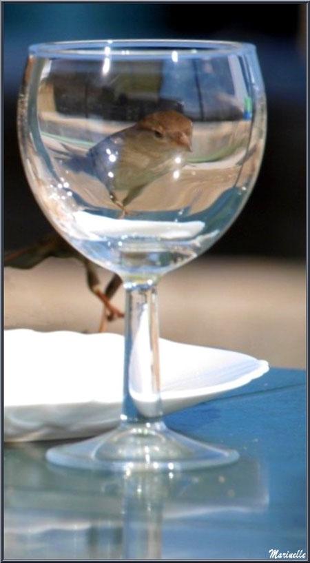 Moineau dans un verre en terrasse d'une dégustation d'huîtres au Cap-Ferret, Bassin d'Arcachon (33)