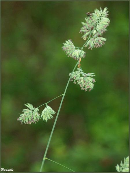 Epi Molinie ou Molinie Bleue (Molinia caerulea) ou Paleine, flore Bassin d'Arcachon (33)