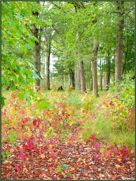 Chemin forestier aux couleurs automnales, forêt sur le Bassin d'Arcachon (33)