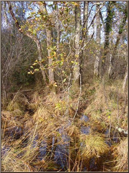 Touffes de Molinie ou Molinie Bleue (Molinia caerulea) ou Paleine en forêt, flore Bassin d'Arcachon (33)