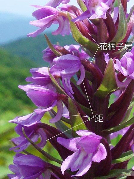 ノビネチドリの花の構造-2(花柄子房、距)