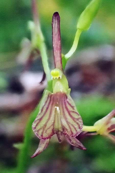 クモイジガバチの唇弁は脈が目立ち、先端に突起がある。蕊柱には先端がやや尖った翼がある
