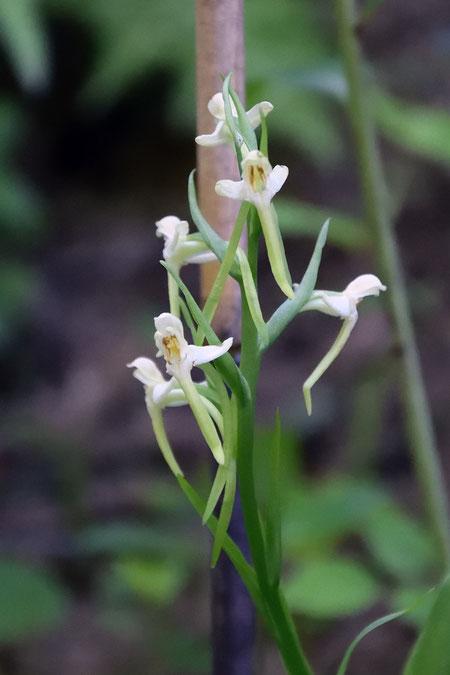 ツレサギソウは、6個の花しかつけていなかった。かつては倍以上だった