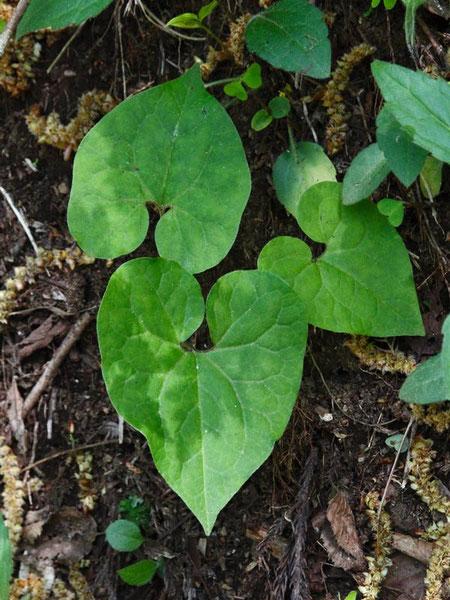トウゴクサイシンの葉