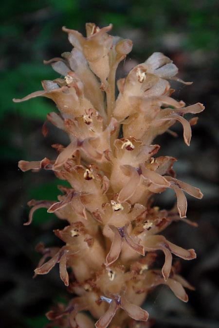 見えにくいですが、サカネランの茎・花柄・子房には毛が生えます