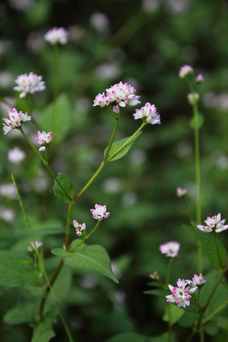 ミゾソバ (溝蕎麦) タデ科 イヌタデ属  まだ開花した花は少なかった