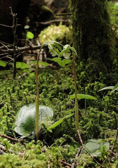 #10 別の場所で見たイチヨウランです。 2010.06.06 八ヶ岳山麓