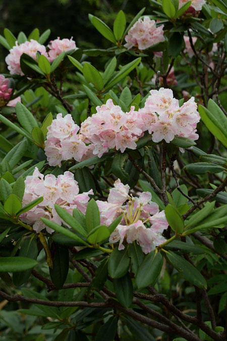 ハクサンシャクナゲ (白山石楠花) ツツジ科 シャクナゲ亜属  終盤