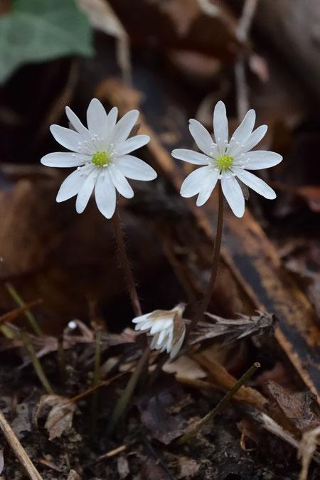 ミスミソウ これから咲く若い花もあった(中央下)