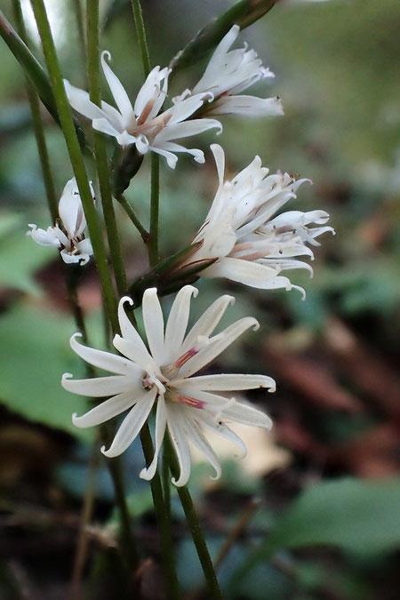 キッコウハグマ  頭花は5個の裂片を持つ3個の小花からなる