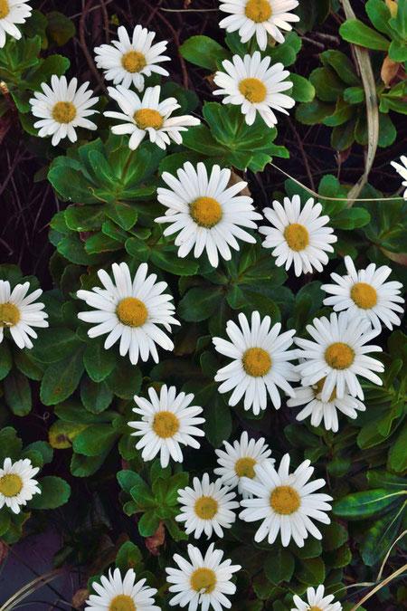 頭花は直径約6〜7cmと大きく、とても見応えがあります