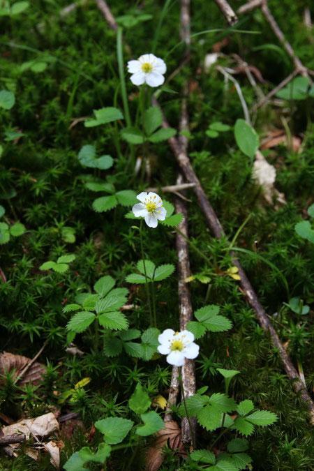 シロバナノヘビイチゴ (白花蛇苺) バラ科 オランダイチゴ属