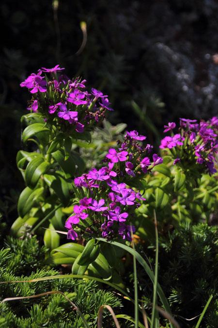 ここのハマナデシコの花は特に色が濃いように感じた