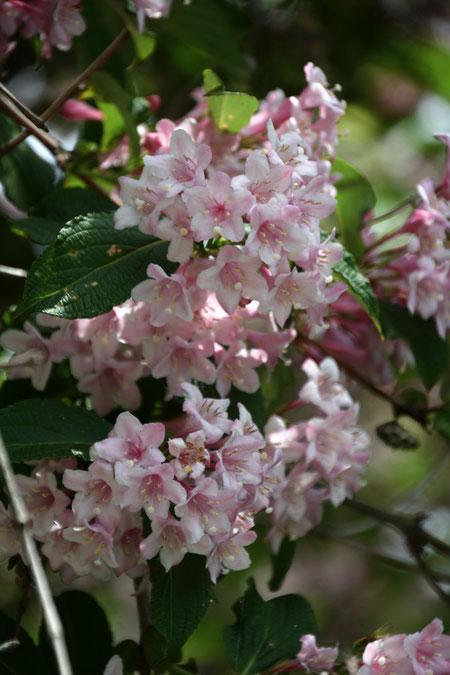 タニウツギ  淡いピンクが美しい
