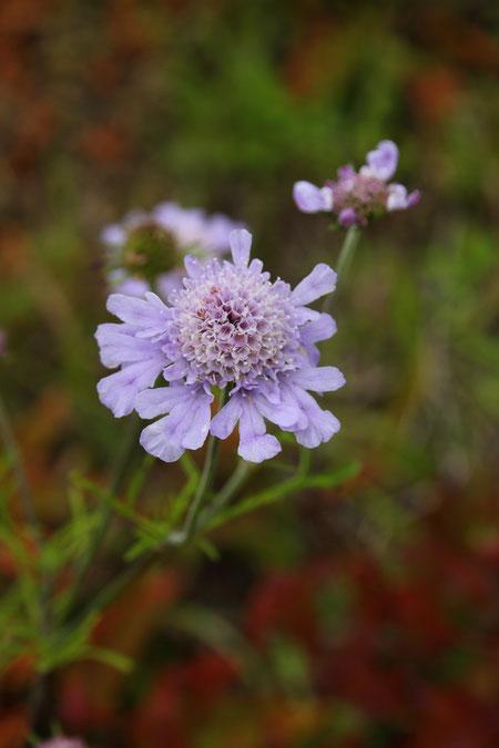 マツムシソウの花は花はキク科のように中央部の多数の筒状花と周辺部の舌状花から成ります