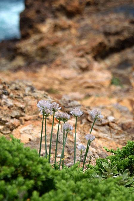 モモイロイズアサツキは強い日差しと潮風にさらされる海岸の岩上に咲いていた