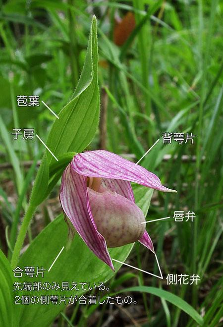 アツモリソウの花の構造(背萼片、側花弁、合萼片、唇弁、苞葉、子房)