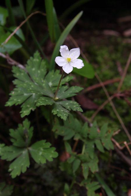 ニリンソウ  開花した直後なためか、萼片がシワシワになっていた