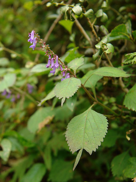 カメバヒキオコシ  2009.09.22 長野県 沼ノ原湿原
