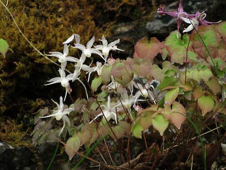 イカリソウの白花