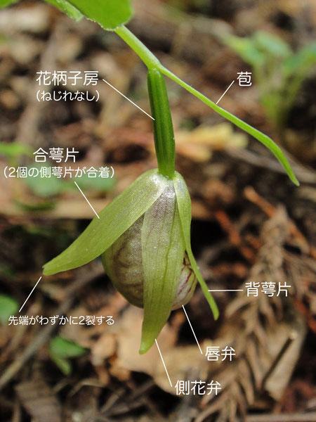 コアツモリソウの花を左側面から花を見る(苞、花柄子房、背萼片、唇弁、側花弁、合萼片)