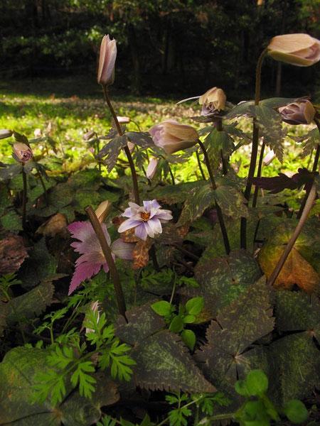 ユキワリイチゲ  茎葉は3個が輪生します 裏面は紫色を帯びます