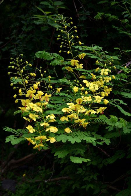 ジャケツイバラ (蛇結茨) マメ科 ジャケツイバラ属 つる性の落葉低木です