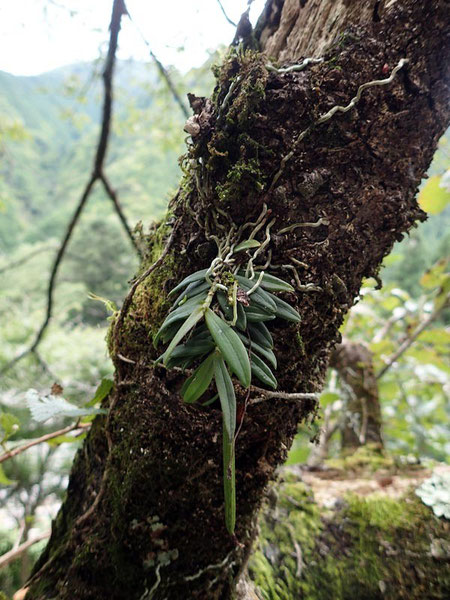 カヤラン (茅蘭) 花はなし