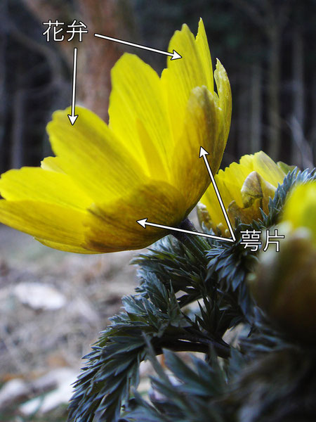 萼片の長さが花弁の半分ほどと短いので、ミチノクフクジュソウとしました