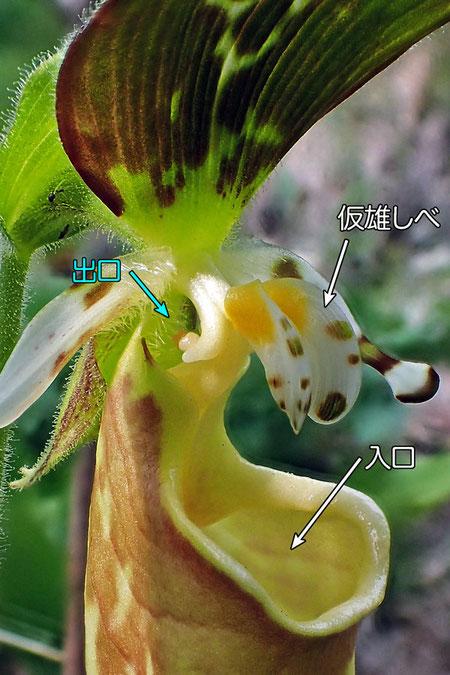 #10 キバナノアツモリソウの花の中心部の様子