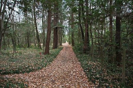 広大な雑木林のあちこちに、このような杉並木の小径があった
