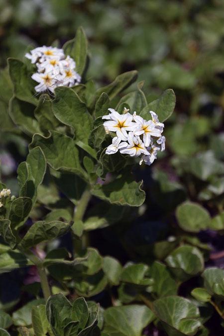 スナビキソウ  ピークは過ぎたが、まだ頑張って咲いている花があった