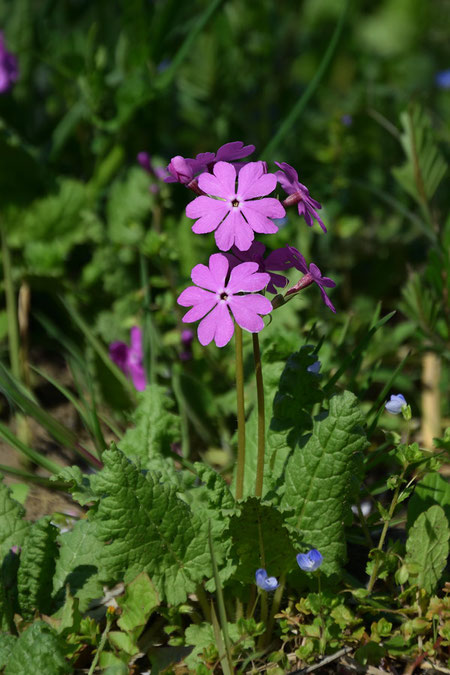 サクラソウは、サクラソウ科サクラソウ属の植物。 準絶滅危惧の種